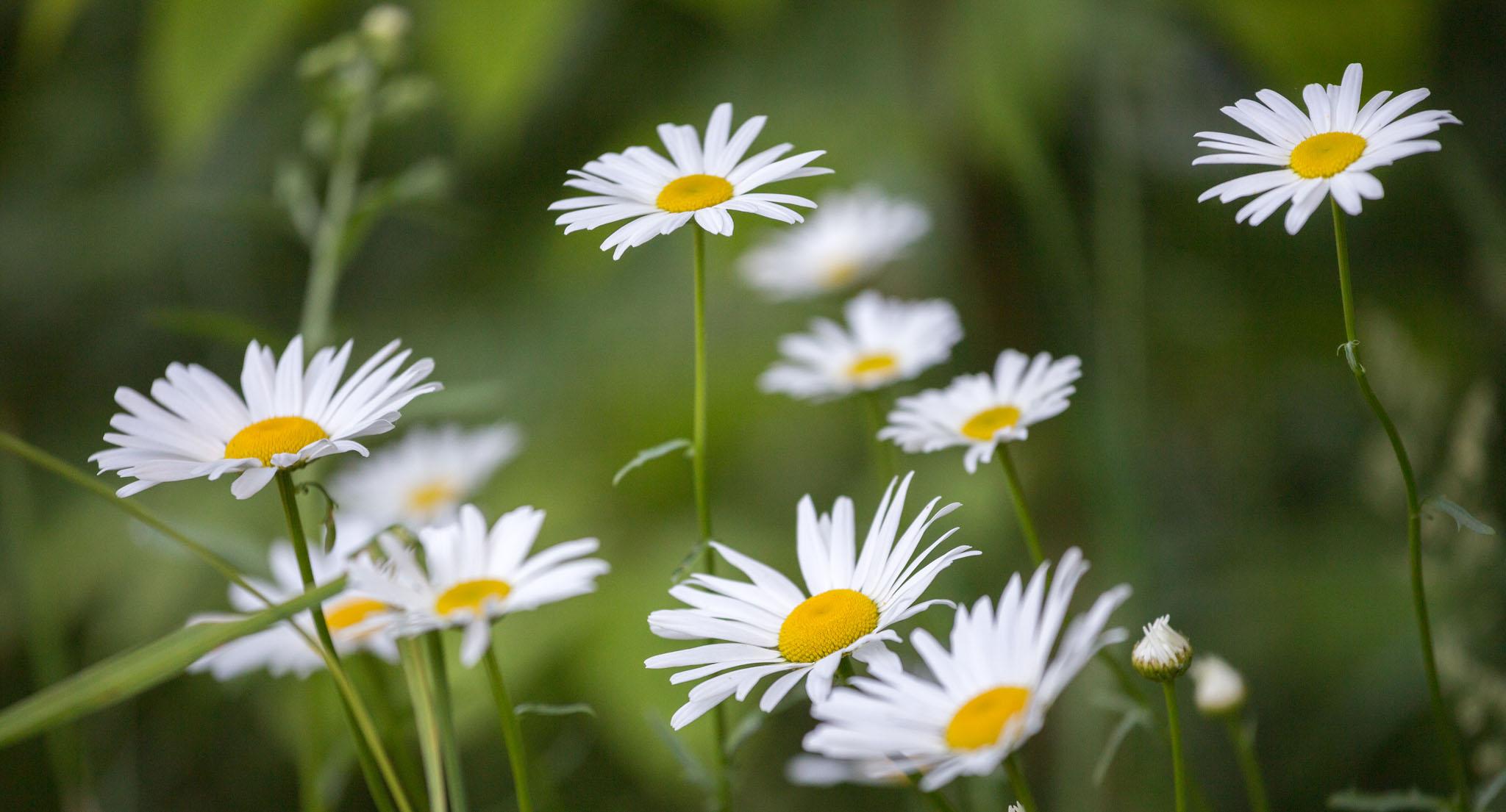 daisies wide 2k